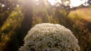"sunlight streaming through trees behind white flower called ""Queen Anne's Lace"""