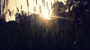 sun shining behind red fox grass in field