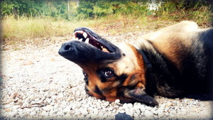close up of face of german shepard dog lying upside down on gravel